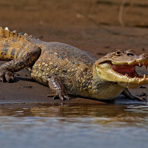 01-krokodil diamond painting krokodil 40 x 50