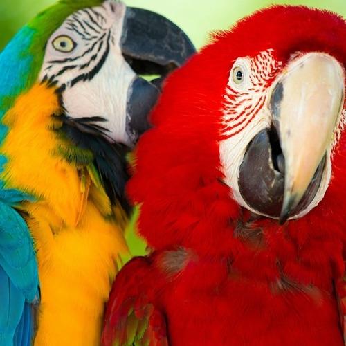 01-parrots2 Diamond Painting vierkante steentjes - 2 ara's