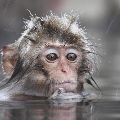 01-apen3 Diamond Painting vierkante steentjes - aap in water