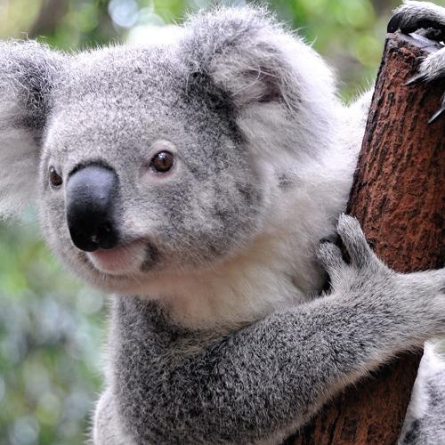 Diamond Painting koala beer